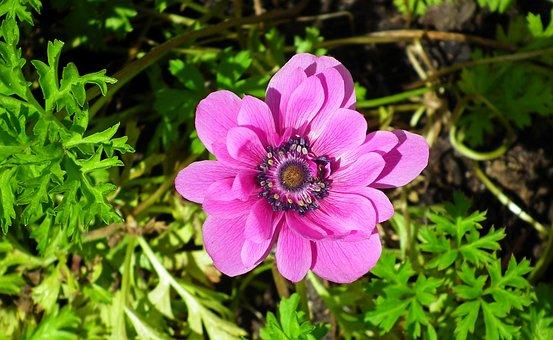 Anemone, Flowers, Pink, Garden, Plants, The Petals