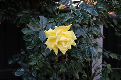 Yellow, Rose, Petals, Love, Romantic