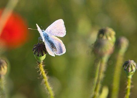Flower Meadow, Sunny, Butterfly, Hauhechel Blue