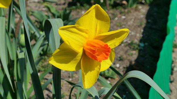 Daffodil, Narcissus, Flower, Spring