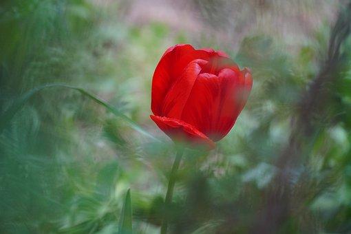 Red Tulip, Tulip, Spring, Garden, Nature, Plant, Bloom