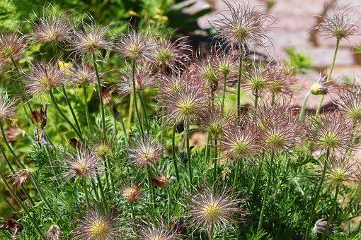 Pasqueflower, Pulsatilla Vulgaris, Faded, Pasque Flower
