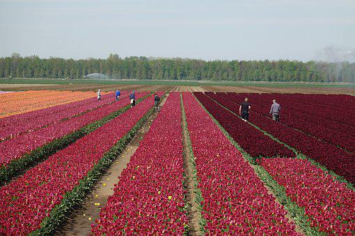 Tulips, Tulip Field, Colorful, Netherlands, Bulb