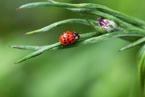 Ladybug, Nature, Beetle, Insect, Spring, Macro