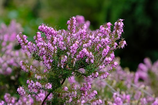 Erika, Heather, Nature, Pink, Bloom, Flowers, Ericaceae