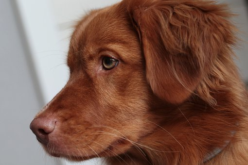 Nova Scotia Duck Tolling Retriever, Toller, Dog, Pet