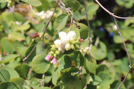 Nature, Bush, Plant, Snow Berry