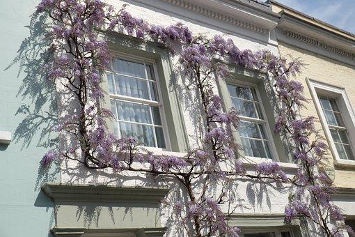 Wisteria, Flowers, Chelsea, Window, London, Culture