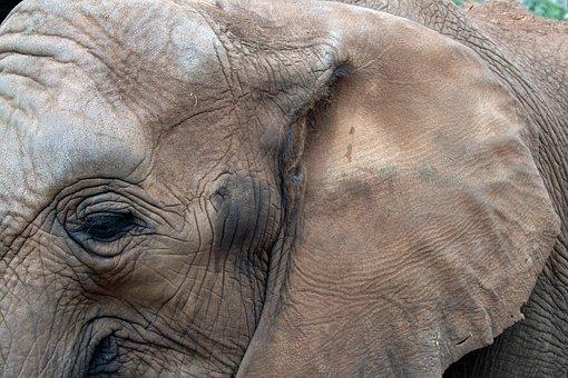 African Elephant, Eye, Ear, Animal, Wildlife, Large