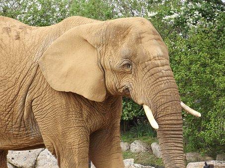 Elephant, Ears, Face, Large, Animal, Trunk, Wildlife