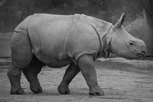 Rhino, Baby Rhinoceros, Animal, Mammal, Calf