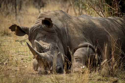 Rhino, Africa, Endangered, Game, Poaching, Protection