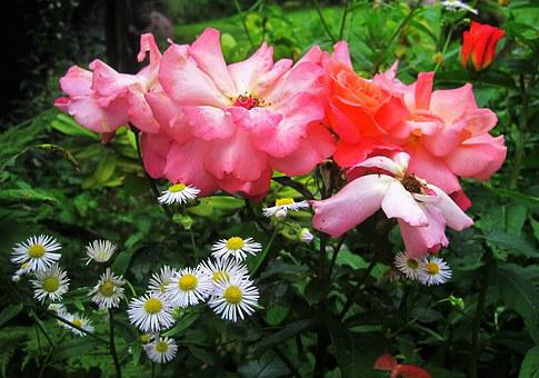 Cottage Garden, Still Life, Roses, Rose Bloom