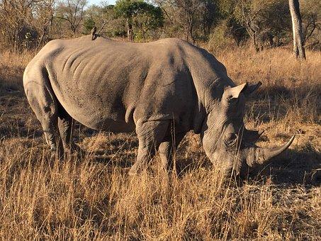 Rhino, Africa, Sabi Sabi
