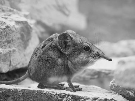 Elephant Shrews, Short Proboscis Springer Ear