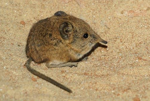 Elephant Shrews, Tree Shrews, African Mouse, Long Nose