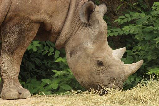 Rhino, St Louis, Zoo