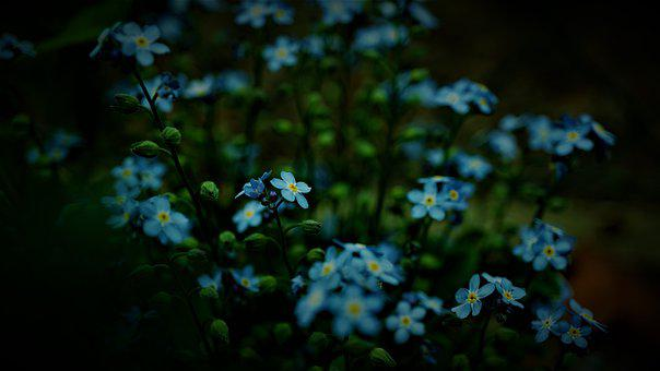 Forget Me Not, Blue Floral, Although, Nature, Flowers