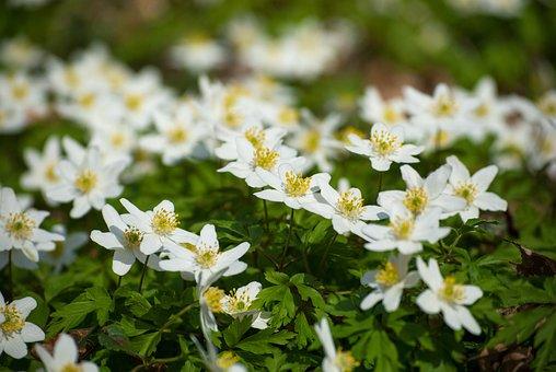 Anemone, Bloom, Blossom, Carpet, Closeup, Early, Flora