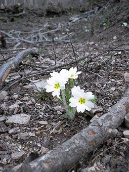 Primrose, Forest Floor, Frühlingsblüher, Forest, Nature