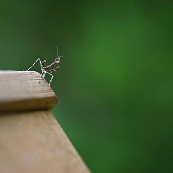 Mantis, Green, Brown, Black, Prayer, Nature, Looking