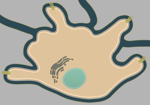 Connectedbio, Melanocyte, White Cell, Cell, Light Cell