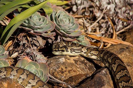 Snake, Carpet Python, Python, Sunbathing, Rocks