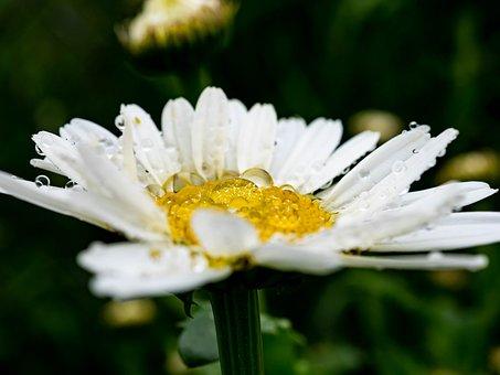 Magarite, Drop Of Water, Spring, Nature, Summer