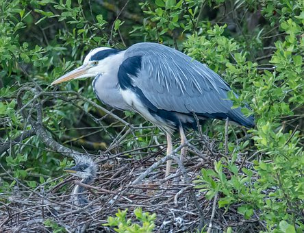 Nesting, Grey Heron, Heron, Closeup, Wildlife, Beak