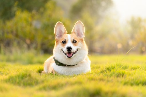 Dog, Corgi, Cute, Animal
