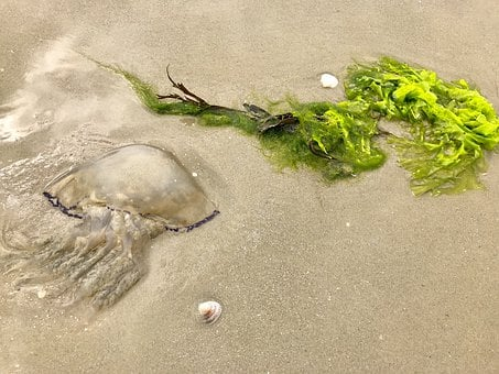 Jellyfish, North Sea, Beach, Shell