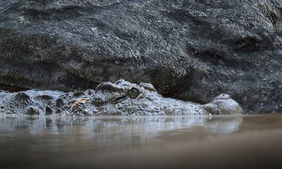Crocodile, Pond, Nature, Reptile, Animal, Water