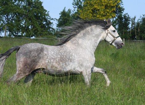 Pre Stallion, Gray Mold, Dapple, Yeguada Sogetho