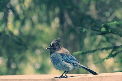 Diademhäher, Bird, Usa, Animal World, Plumage, Feather