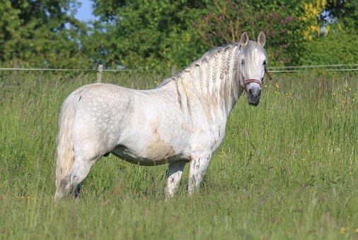 Pre Stallion, Yeguada Sogetho, Breeding Stallion, Horse