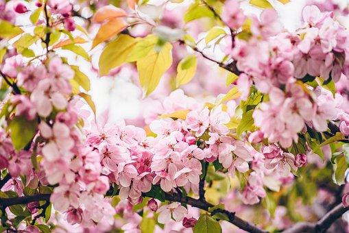 Peach Blossom, Spring Flowers, Charming