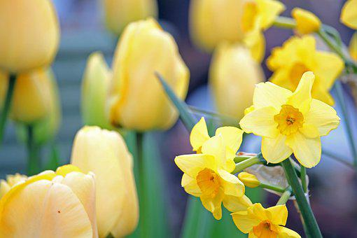 Daffodils, Osterglocken, Spring, Yellow