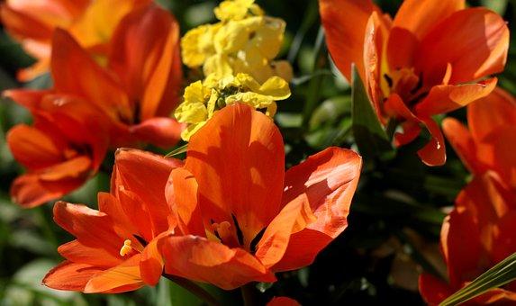 Tulipa Fosteriana Orange Emperor, Tulip, Garden, Bulb