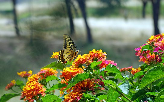 Butterfly, Swallowtail, Papilio Machaon, Moth, Insect
