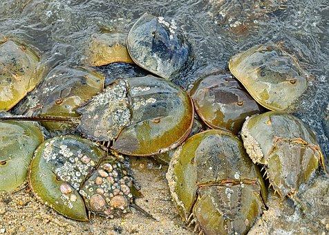 Horseshoe Crabs, Crustaceans, Crab, Marine, Matting