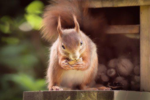 Squirrel, Nager, Wild Animal, Cute, Nature, Rodent