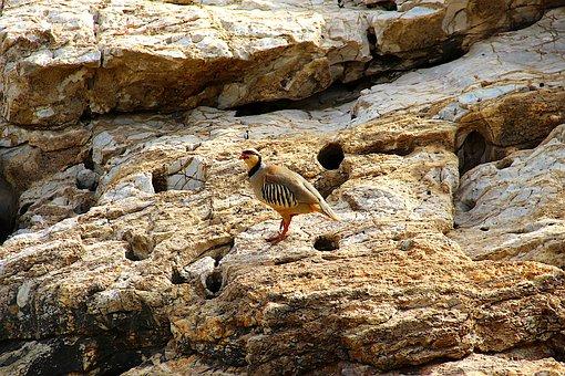 Partridge, Bird, Rocks, Nature, Wild, Plumage, Game