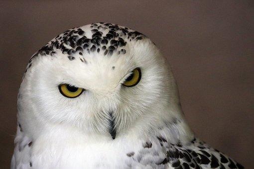 Snowy Owl, White, Owl, Bird, Animal
