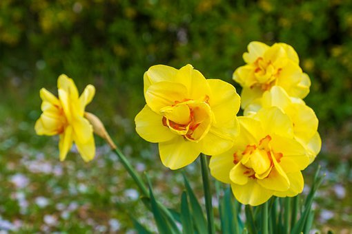 Daffodils, Yellow, Red, Spring, Blossom