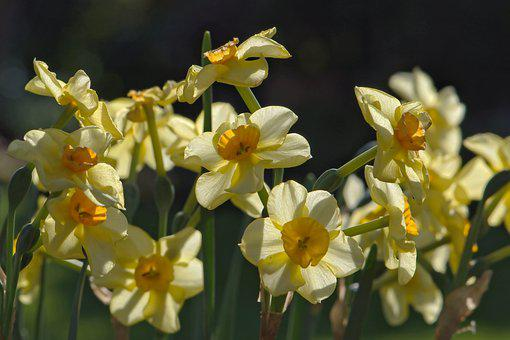 Daffodils, Spring, Early Bloomer, Easter