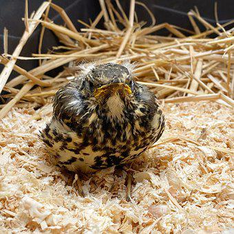 Young, Thrush, Bird, Shavings, Straw, Fallen, Nest