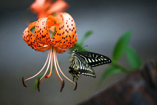 Lilium Lancifolium, Butterfly, Swallowtail, Insects