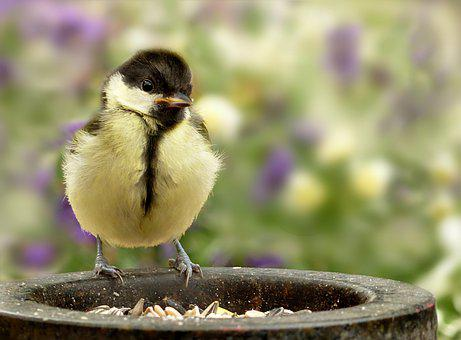 Animal, Bird, Tit, Parus Major, Songbird, Young