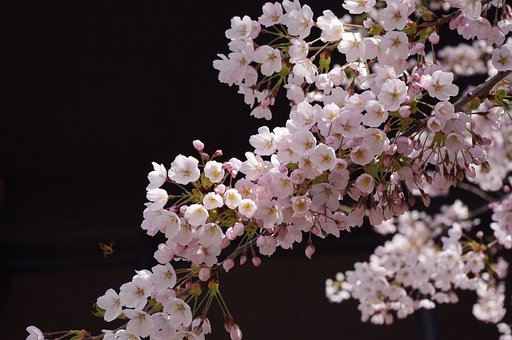 Sakura, Flower, Spring, Cherry Blossoms, Bloom, Japan