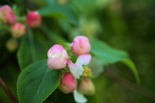 Cherry Blossom, Cherry Flower, Blossom, Spring, Nature